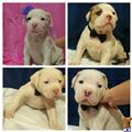american bulldog puppy posted by zirah0208