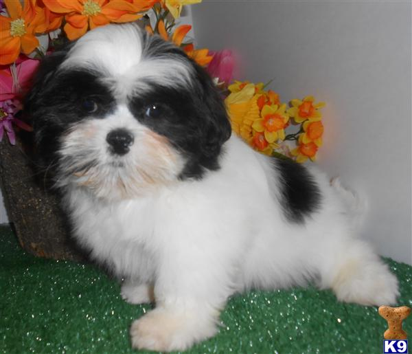shih tzu for sale chicago shih tzu puppy for sale chicago shih tzu 3889